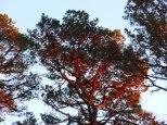 redtree.11.14.1.lo.